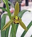 報歲琥珀黃花 Cymbidium sinense 'Amber Yellow' -香港沙田國蘭展 Shatin Orchid Show, Hong Kong- (12247876423).jpg