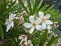 墨西哥橘屬 Choisya Aztec Pearl -比利時 Ghent University Botanical Garden, Belgium- (9229778076).jpg