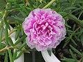 太陽花(松葉牡丹)-重瓣 Portulaca grandiflora -香港鶴藪香薰園 Hok Tau, Hong Kong- (9255175990).jpg
