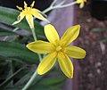 小金梅草屬 Hypoxis erecta -比利時國家植物園 Belgium National Botanic Garden- (9213294595).jpg