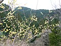 広橋梅林にて ロウバイの花 Blossoms of Wintersweet 2011.3.06 - panoramio.jpg