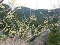 広橋梅林にて ロウバイの花 Blossoms of Wintersweet 2011.3.06 - panoramio.jpg