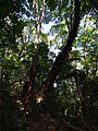 栲树王 - Biggest Castanopsis kawakamii Tree - 2016.08 - panoramio.jpg