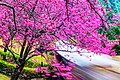櫻花在臺灣南投九族文化村 Cherry blossom - Sakura in Formosa Aboriginal Culture Village, Nantou, TAIWAN.jpg