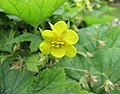 歐洲林石草 Waldsteinia geoides -比利時 Ghent University Botanical Garden, Belgium- (9216101822).jpg