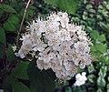 溲疏屬 Deutzia parviflora v amurensis -比利時 Ghent University Botanical Garden, Belgium- (9226996493).jpg