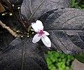 紫葉擬美花 Pseuderanthemum atropurpureum -日本大阪鮮花競放館 Osaka Sakuya Konohana Kan, Japan- (27406341727).jpg