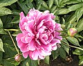 芍藥-藍田碧玉 Paeonia lactiflora 'Lantian Bluish Green Jade' -瀋陽植物園 Shenyang Botanical Garden, China- (12403888663).jpg