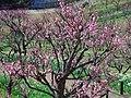 錦織公園 梅の里にて Ume-no-sato, Apricot grove 2013.3.15 - panoramio.jpg