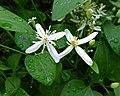 鐵線蓮屬 Clematis aristata -新加坡植物園 Singapore Botanic Gardens- (15533503855).jpg