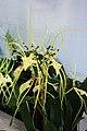 長萼蘭屬 Brassia wageneri -香港青松觀蘭花展 Tuen Mun, Hong Kong- (9219878083).jpg