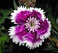 鬚苞石竹(五彩石竹) Dianthus barbatus -香港公園 Hong Kong Park- (9447981797).jpg