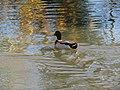 -2018-11-09 Mallard duck (Anas platyrhynchos) on a pond, Knapton, Norfolk.JPG