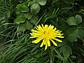 -2019-05-26 Dandelion (Taraxacum), Trimingham.JPG