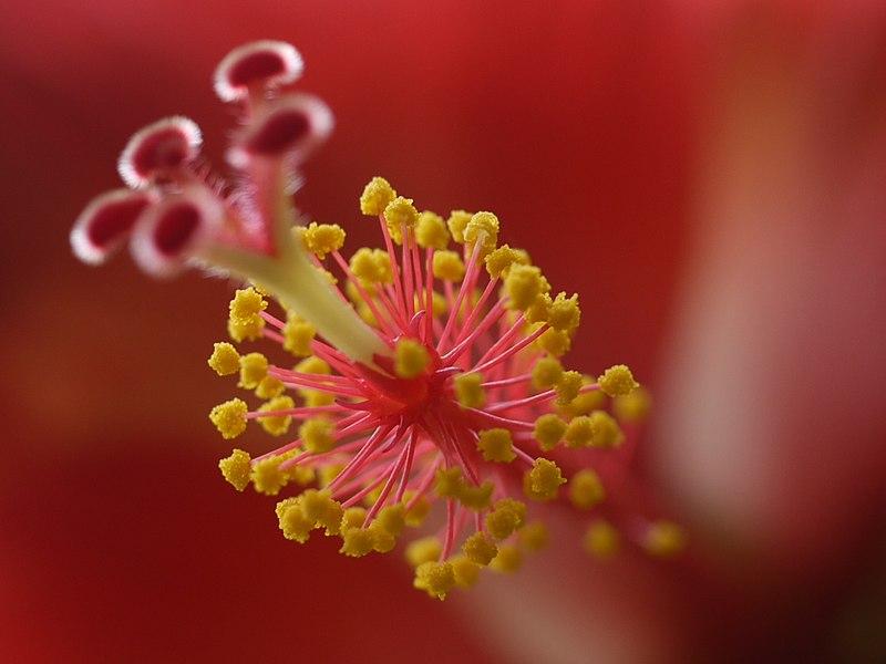 File:... tropical hibiscus (4836314069).jpg