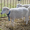 0.2014 Die Swiniarka-Schafe..JPG