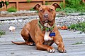 003 American Pit Bull Terrier.jpg