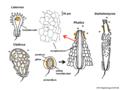 03 02 26 fruiting bodies of Phallales, gasteromycetes, Basidiomycota (M. Piepenbring).png