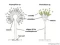 04 03 21a conidiophores, Aspergillus, Penicillium, Eurotiales, Ascomycota (M. Piepenbring).png