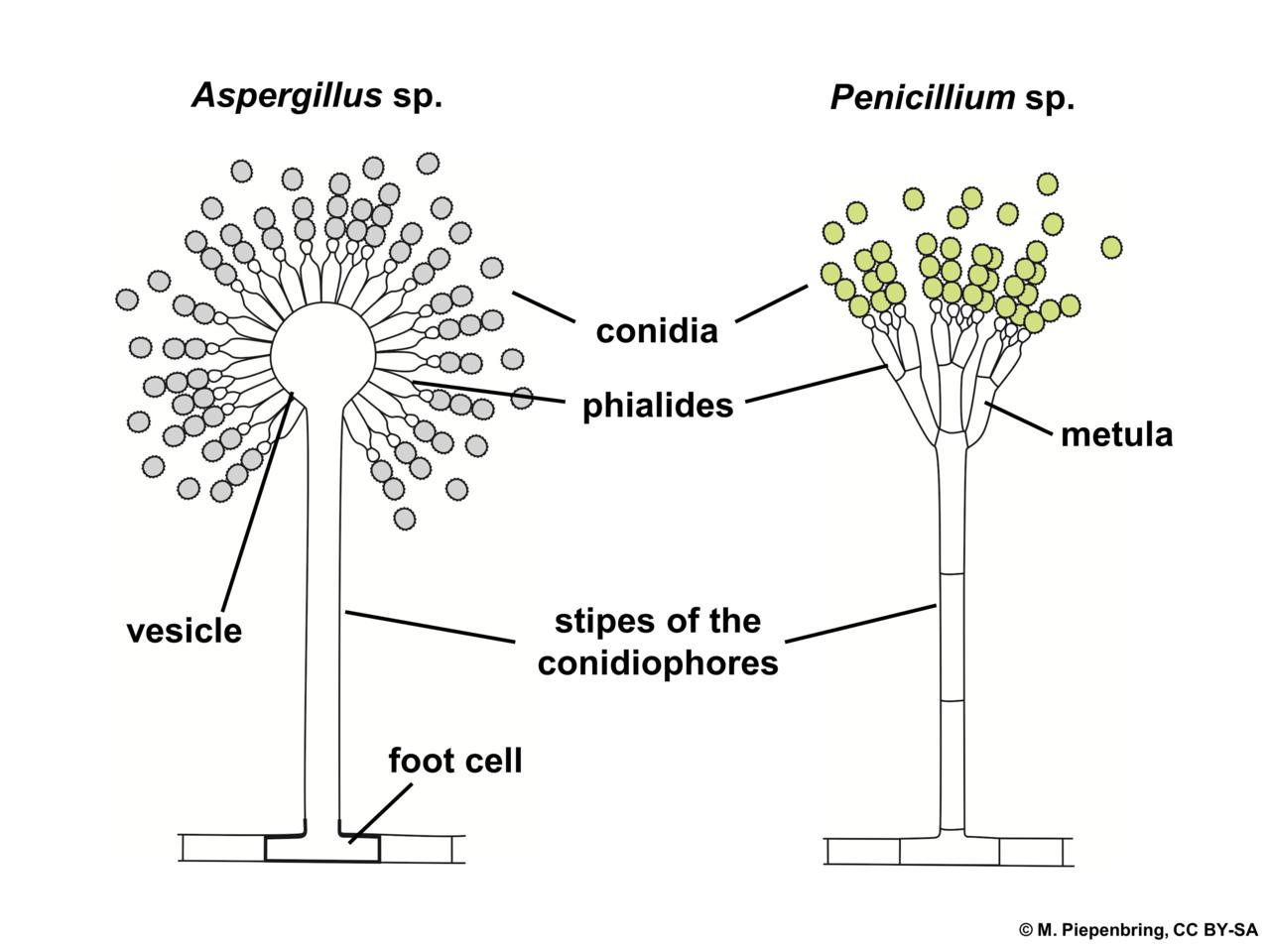 file 04 03 21a conidiophores  aspergillus  penicillium