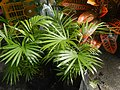 0998Ornamental plants in the Philippines 53.jpg
