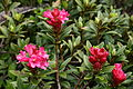 0 Rhododendron ferrugineum - Vallorcine (1).JPG