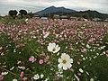 10月のコスモス畑と筑波山 - panoramio.jpg