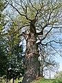 1000-річний дуб у селі Верин. Верин (1).JPG