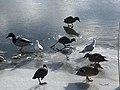 1031.DeHeld.Vinkhuizen.Westpark.Rietvelden.Waterskivijver.Natuur.Watervogels.Eenden.jpg