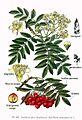 113 Sorbus aucuparia L.jpg