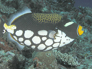 Clown Triggerfish, New Hanover Island, Papua N...