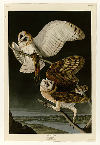 Barn owl - Depiction of the barn owl in Plate 171 of Birds of America by John James Audubon