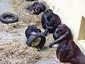 2006 burgers zoo bonobos.JPG