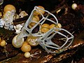 2008-08-11 Clathrus delicatus Berk. & Broome (1875) 16877.jpg