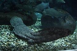 Une salamandre géante de Chine, dans un aquarium, avec des poissons