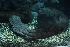 Chinese giant salamander - Chinese giant salamander at Shanghai Aquarium
