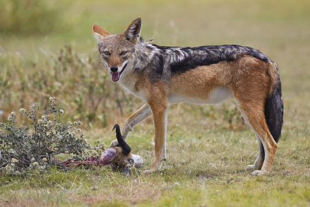Black-backed jackal feeding on a springbok carcass, Etosha