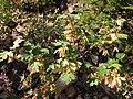 2013-08-15 09 46 22 Acer glabrum var. diffusum on the western slopes of the Jarbidge Mountains.jpg