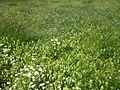 20130602Knautia arvensis5.jpg