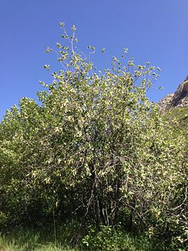 2014-06-13 14 48 01 Choke Cherries blooming along Lamoille Canyon Road in Lamoille Canyon, Nevada.JPG