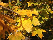Acer Platanoides Wikipedia - Norway maple uses