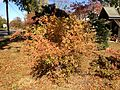 2014-10-30 11 50 06 Shrub during autumn on Terrace Boulevard in Ewing, New Jersey.JPG