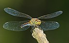 2014.07.17.-18-Zadlitzgraben Pressel--Schwarze Heidelibelle-Weibchen.jpg