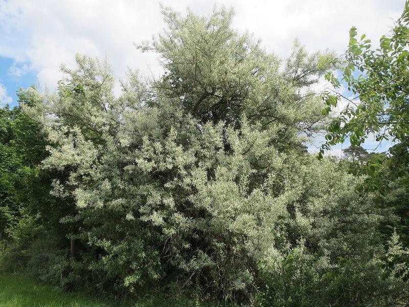 houppier de l'oliver de bohême