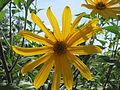 20150827Helianthus tuberosus.jpg