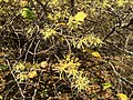 2016-10-25 10 37 45 American Witch-Hazel blooming at the Fishers Gap Overlook along Shenandoah National Park's Skyline Drive on the border of Page County, Virginia and Madison County, Virginia.jpg