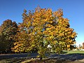2016-11-12 15 24 35 Norway Maple displaying autumn foliage in Franklin Farm Park in the Franklin Farm section of Oak Hill, Fairfax County, Virginia.jpg