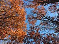 2017-11-23 13 03 56 View up into the canopy of several trees during late autumn along Stone Heather Drive near Stone Heather Court in the Franklin Farm section of Oak Hill, Fairfax County, Virginia.jpg