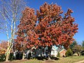 2017-11-24 13 21 18 Red Maple during late autumn along Kinross Circle in the Chantilly Highlands section of Oak Hill, Fairfax County, Virginia.jpg
