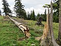 2018-08-11 (142) Snag (broken tree) at Tirolerkogel, Annaberg, Austria.jpg